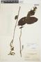 Chamissoa altissima var. rubella Suess., ARGENTINA, J. E. Montes 2248, F