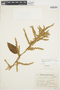 Chamissoa altissima var. rubella Suess., ARGENTINA, R. Schreiter, F