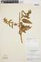 Chamissoa altissima var. rubella Suess., BRAZIL, E. Forero 6418, F