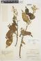 Chamissoa altissima var. rubella Suess., COLOMBIA, E. Pérez Arbeláez 6379, F