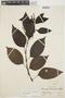 Chamissoa altissima var. rubella Suess., PERU, G. Klug 4077, F