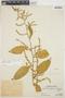 Chamissoa altissima var. rubella Suess., PERU, Ll. Williams 5666, F