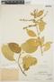 Chamissoa altissima var. rubella Suess., PERU, Ll. Williams 6577, F