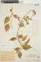 Chamissoa altissima var. rubella Suess., PERU, Ll. Williams 2670, F