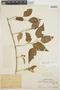 Chamissoa altissima var. rubella Suess., PERU, Ll. Williams 2666, F