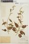 Chamissoa altissima var. rubella Suess., PERU, Ll. Williams 2295, F