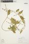 Chamissoa altissima (Jacq.) Kunth, PERU, T. B. Croat 17865, F