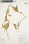 Chamissoa altissima (Jacq.) Kunth, PERU, J. Revilla 876, F