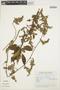 Chamissoa altissima (Jacq.) Kunth, ARGENTINA, M. E. Amado 39, F
