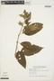 Chamissoa altissima (Jacq.) Kunth, BRAZIL, P. Balduino Rambo 43017, F