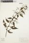 Chamissoa altissima (Jacq.) Kunth, BRAZIL, M. Sobral 1910, F