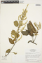 Chamissoa altissima (Jacq.) Kunth, BRAZIL, C. R. Sperling 6319, F