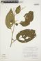 Chamissoa altissima (Jacq.) Kunth, VENEZUELA, F. J. Breteler 4444, F