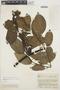 Chamissoa altissima var. rubella Suess., COLOMBIA, J. Cuatrecasas 15411, F
