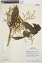 Chamissoa altissima var. rubella Suess., PERU, T. R. Dudley 11548, F