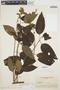 Chamissoa altissima var. rubella Suess., ARGENTINA, J. E. Montes 2259, F
