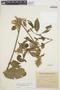 Chamissoa altissima var. rubella Suess., ARGENTINA, O. H. Borsini 583, F
