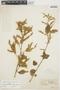 Chamissoa altissima var. rubella Suess., BRAZIL, F. C. Hoehne 20303, F