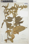 Chamissoa altissima var. rubella Suess., BOLIVIA, M. Bang 2263, F