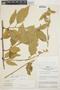 Chamissoa altissima var. rubella Suess., PERU, J. Schunke Vigo 1916, F