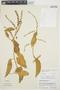 Chamissoa altissima var. rubella Suess., PERU, C. M. Belshaw 3311, F
