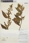 Chamissoa altissima var. rubella Suess., PERU, F. Wolfe 12180, F