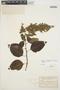 Chamissoa altissima var. rubella Suess., ARGENTINA, C. Meyer 2973, F