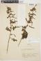 Chamissoa altissima var. rubella Suess., ARGENTINA, A. P. Rodrigo 3682, F