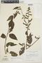 Chamissoa altissima var. rubella Suess., BOLIVIA, M. Cárdenas H. 7350, F