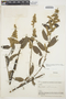 Chamissoa altissima var. rubella Suess., BOLIVIA, B. A. Krukoff 10398, F