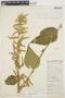 Chamissoa altissima var. rubella Suess., BOLIVIA, M. Cárdenas H. 2812, F