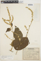 Chamissoa altissima var. rubella Suess., COLOMBIA, 1623, F