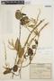 Chamissoa altissima var. rubella Suess., COLOMBIA, 1632, F