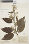Chamissoa altissima var. rubella Suess., COLOMBIA, J. Cuatrecasas 22706, F