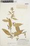 Chamissoa altissima var. rubella Suess., PERU, H. E. Stork 9538, F
