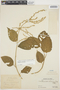 Chamissoa altissima var. rubella Suess., PERU, Ll. Williams 520, F