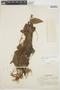 Chamissoa altissima var. rubella Suess., BRAZIL, F. C. Hoehne 1965, F