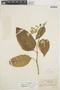Chamissoa altissima var. rubella Suess., BRAZIL, A. Löfgren 4408, F