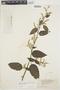 Chamissoa altissima var. rubella Suess., BRAZIL, B. J. Pickel 555, F