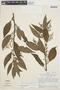 Chamissoa altissima var. rubella Suess., PERU, J. Schunke Vigo 3720, F