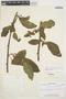 Chamissoa altissima var. rubella Suess., PERU, F. Woytkowski 5545, F