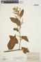 Chamissoa altissima var. rubella Suess., PERU, J. M. Schunke 263, F