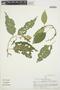 Chamissoa altissima var. rubella Suess., PERU, S. F. Smith 914, F