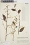 Chamissoa altissima var. rubella Suess., ECUADOR, E. Heinrichs 245, F