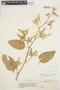 Chamissoa altissima var. rubella Suess., ECUADOR, O. L. Haught 3458, F