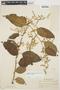 Chamissoa altissima var. rubella Suess., ECUADOR, Y. Mexía 7226, F