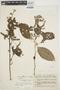 Chamissoa altissima var. rubella Suess., ECUADOR, M. Acosta Solis 5179, F