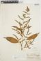 Chamissoa altissima var. rubella Suess., COLOMBIA, G. Klug 1657, F