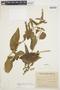 Chamissoa altissima var. rubella Suess., ARGENTINA, M. D. Bertoni 1579, F