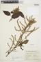 Chamissoa altissima var. rubella Suess., ARGENTINA, A. Peirano 8851, F